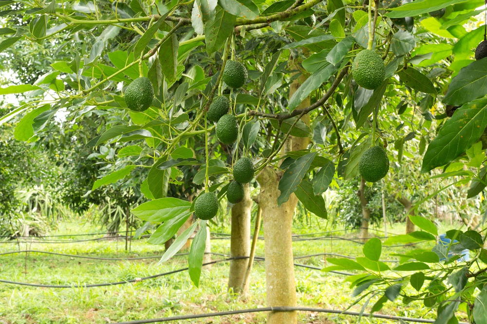 картинки авокадо